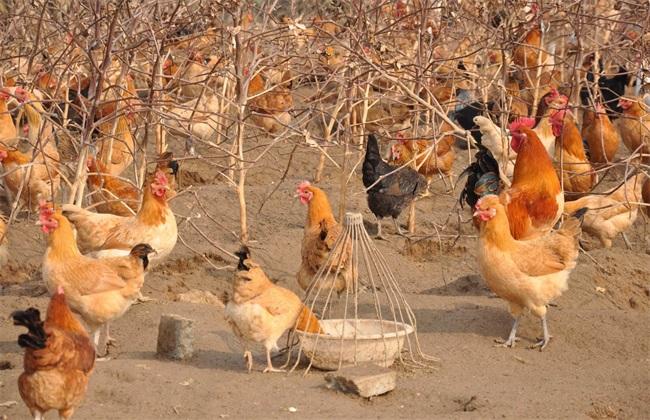 肉鸡 养殖 优势