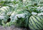 西瓜种植赚钱吗