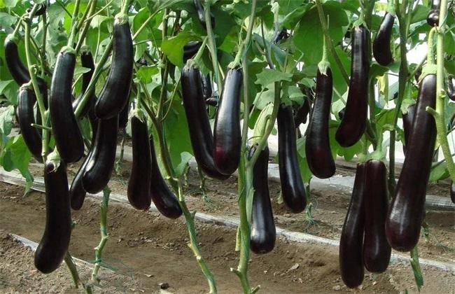 茄子对环境条件的要求