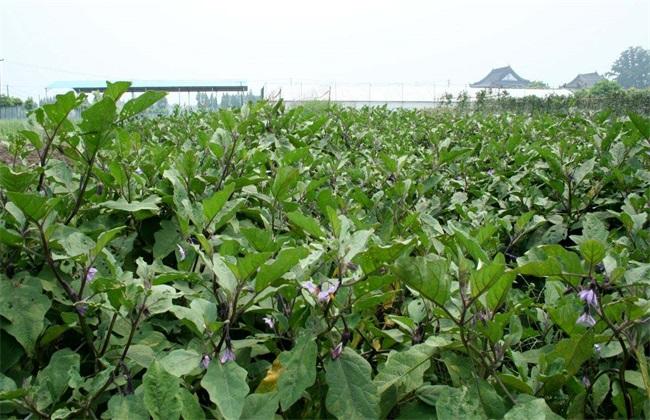 茄子 环境条件 要求