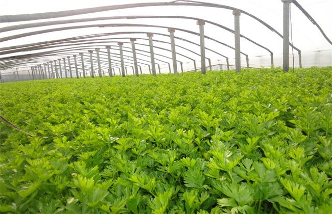 芹菜 环境条件 要求
