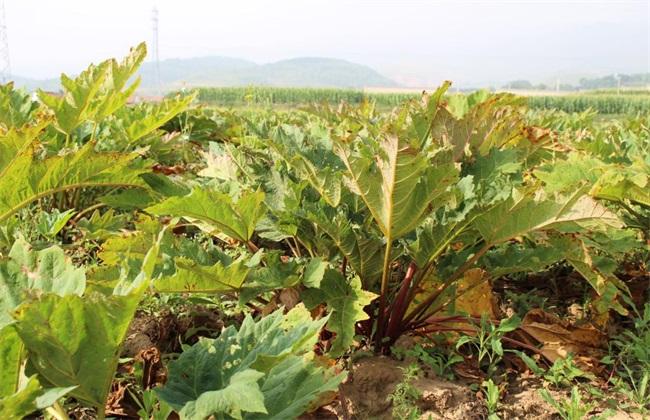 大黄 种植 技术