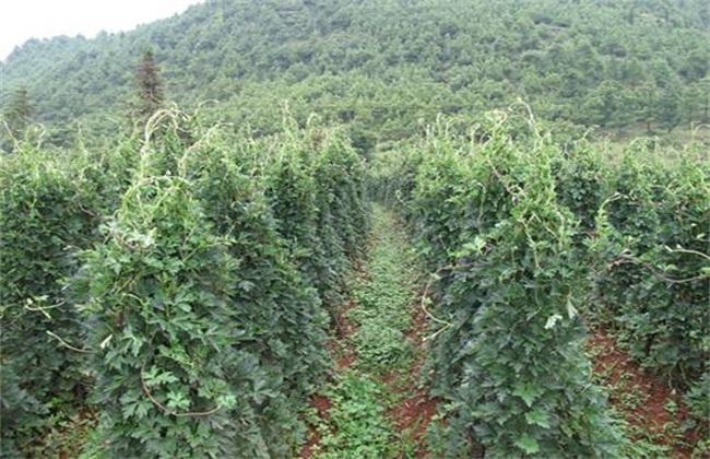 草乌 种植 方法