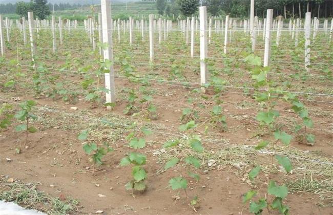 葡萄 移栽定植 注意事项