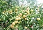 冬枣的种植注意事项