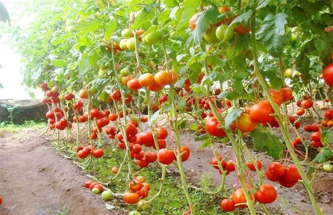 西红柿 高产 施肥方法
