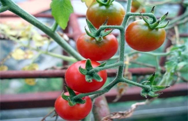 如何提高 西红柿 产量