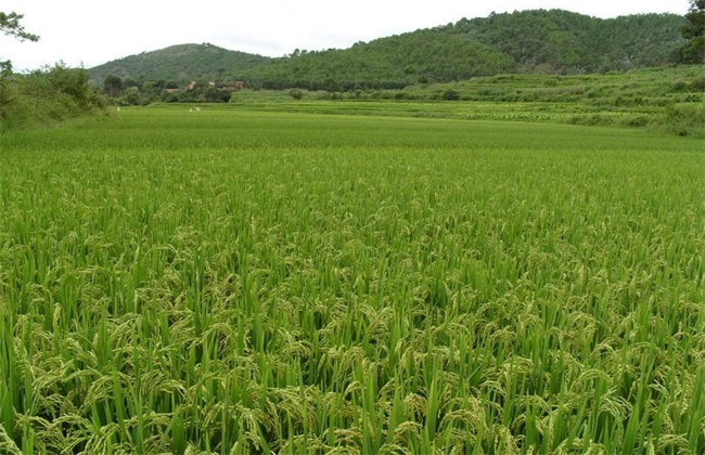 水稻 种植 技术