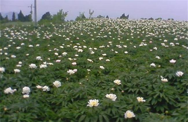 白芍的种植注意事项