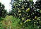 柚子树采摘后管理