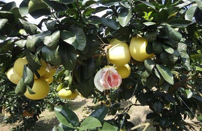红肉蜜柚 栽培 技术