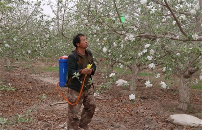 苹果的人工授粉技术