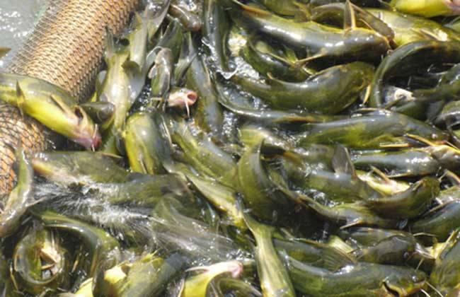 黄颡鱼常见的几种养殖模式