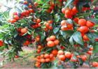 沙糖桔的种植条件