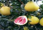 红肉蜜柚种植技术
