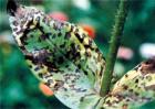 红花常见的病虫害防治