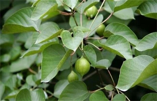 油桐 栽培 技术