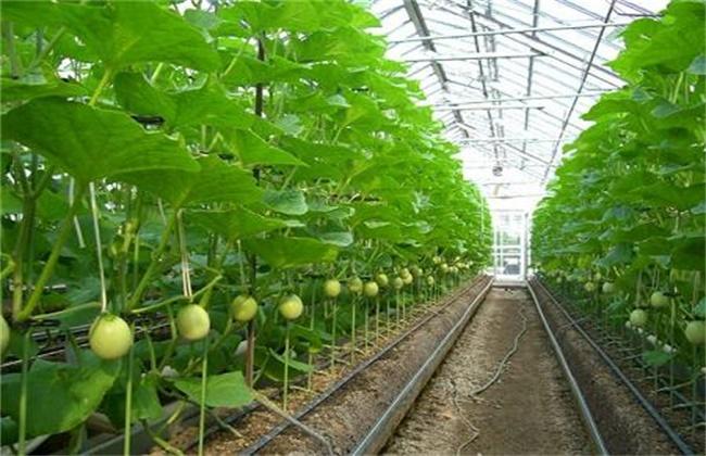 哈密瓜的种植技术