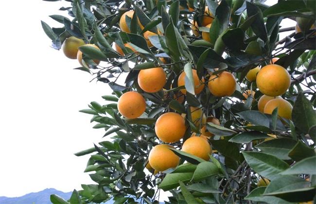 冰糖橙 栽培 技术