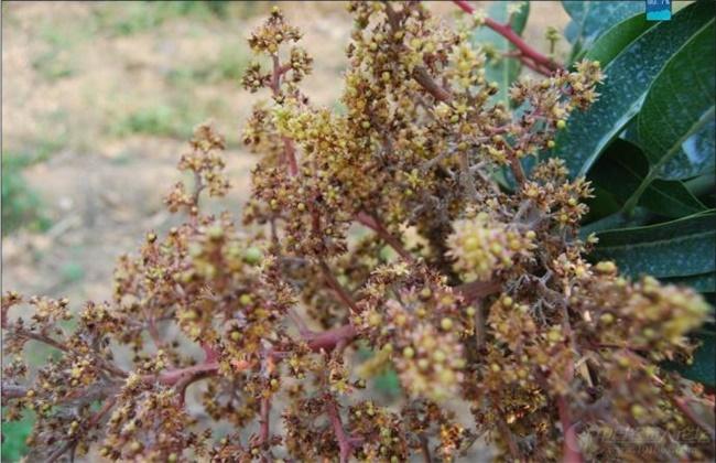 芒果常见病虫害的防治方法