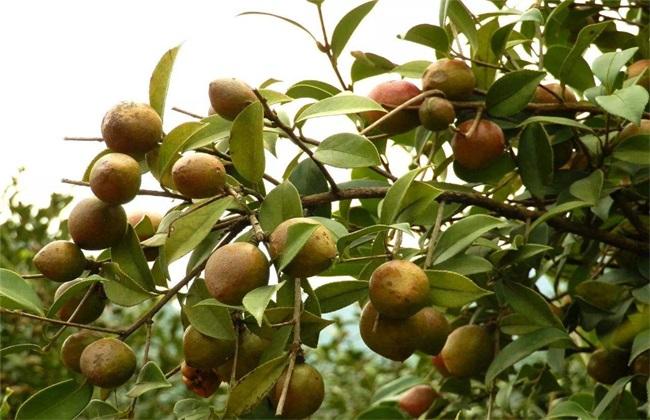 油茶树 管理 方法