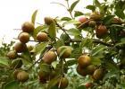 油茶树的管理方法