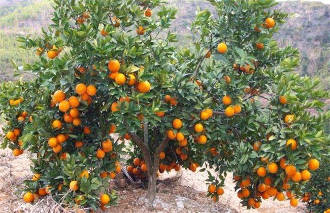 橙子的防寒抗冻技术
