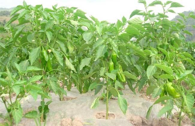 如何提高 辣椒 产量