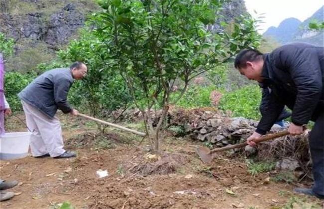 橙子树的施肥技术