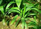 仙茅的种植技术