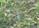 桂枝的种植技术