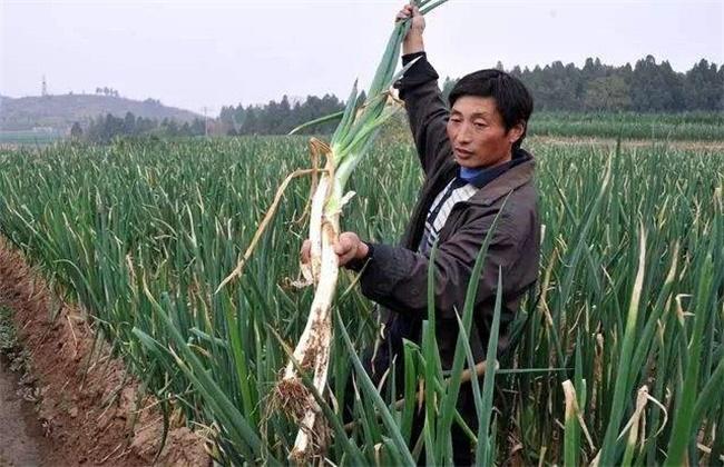 大葱的高产施肥技术