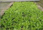 蒲公英种子如何发芽