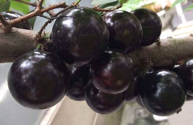 嘉宝果 繁殖 方法