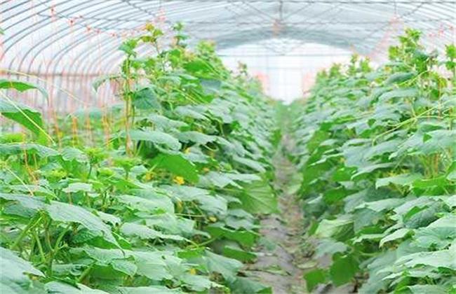 黄瓜的施肥技术