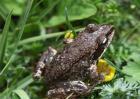林蛙的养殖管理技术