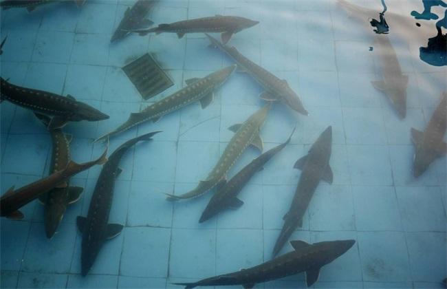 鲟鱼 养殖 条件