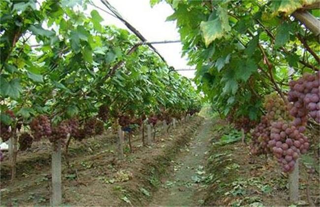 葡萄落果是什么原因造成的