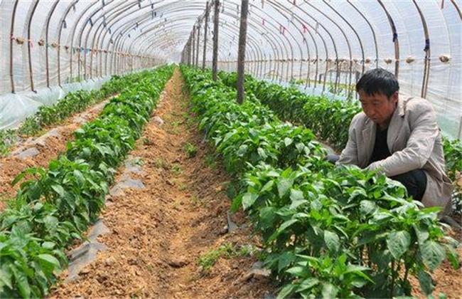 辣椒的高产施肥技术