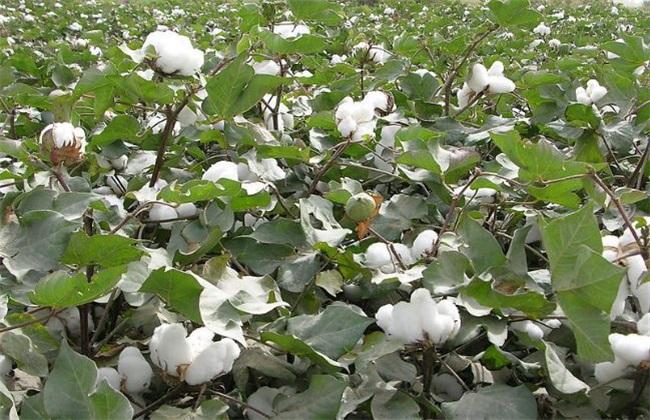 棉花 苗期管理 技术要点
