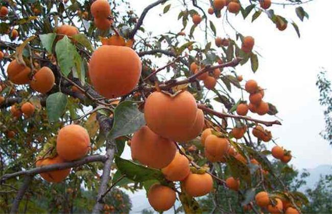 柿子的种植条件