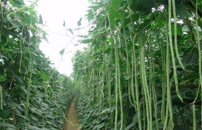 豆角 环境条件 要求