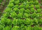生菜对环境条件的要求