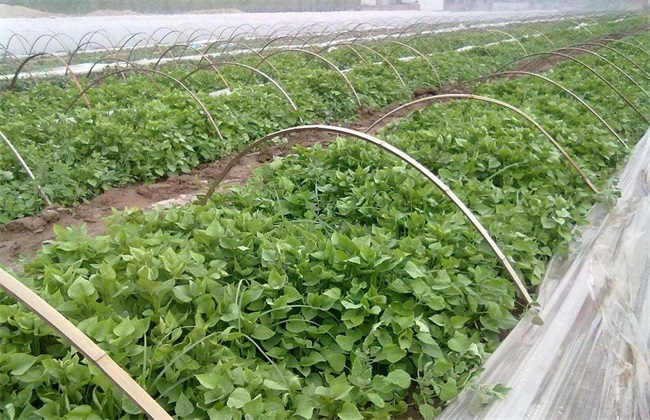 紫薯种植的注意事项