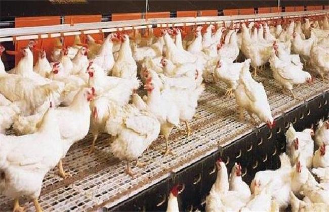 如何提高肉鸡的品质