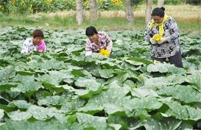 南瓜的高产施肥技术