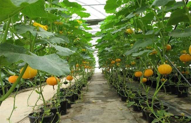 南瓜的种植条件