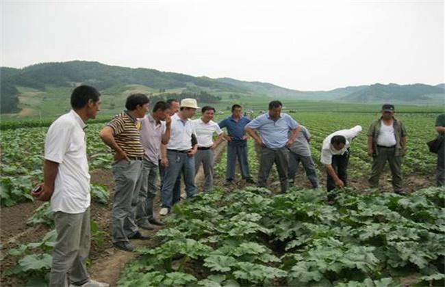 南瓜的田间管理技术
