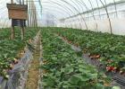 草莓如何防冻越冬