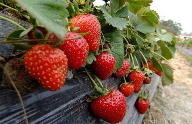 草莓对环境条件的要求